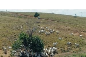 Agrovale realiza teste de engorda em fazenda de cliente no estado do Pará.